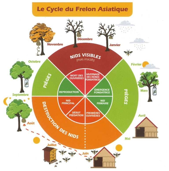 Le cycle du frelon asiatique